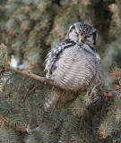 Chouette épervière -- _E0K0622 -- Northern Hawk Owl
