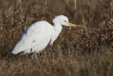 Héron garde-boeufs -- _E5H1163 -- Cattle Egret