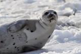 Phoque du Groenland -- _E5H2607 -- Harp Seal