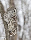 Chouette rayée -- _E5H2034 -- Barred Owl
