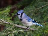 Geai bleu -- _E5H2274 -- Blue Jay