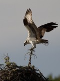 Balbuzard -- Osprey -- _E5H3404
