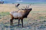 Elk Herd & Wild Flowers
