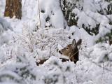 Backyard Deer - What Do I Hear?