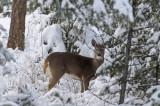 Backyard Deer - She's Watching Me