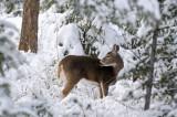 Backyard Deer - Eh, Not Worried