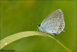 Short-tailed Blue - Staartblauwtje_MG_4235