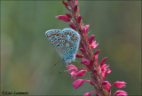 Common blue - Icarusblauwtje_MG_0777