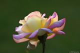 A Masquerade Rose for You