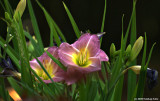Day Lilies are in bloom