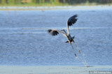 Dance of the Great Blue Heron