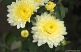 Just Gorgeous Chrysanthumum