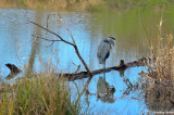 Heron In The Ponds