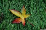 Leaf in a bed of grass