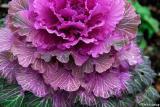 Cabbage flower #2