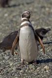 08-01 Penguins Tierra del Fuego 05.JPG