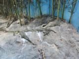 the endangered Yacare, part of a breeding program