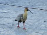 an area resident, the black-faced ibis