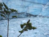 a Patagonian sierra finch