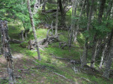 ...and beech forest