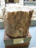 a petrified conifer from Chubut