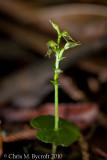 Acianthus sinclairii 1