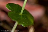 Acianthus sinclairii 3