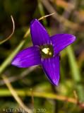 Sierra gentian
