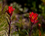 Giant red paintbrush flowers
