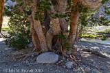A multi-stemmed trunk of whitebark pine