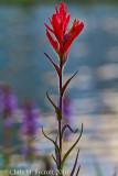 Giant red paintbrush flower