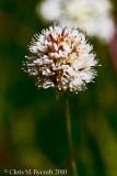 Nude Buckwheat