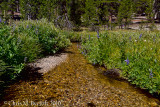 Large-leaved lupines overhanging stream