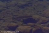 Golden Trout in Purple Lake