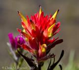 Mountain paintbrush flower