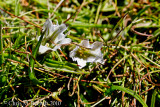 Alpine gentian - not the best photo, but I know what it is.