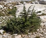 Mountain hemlock