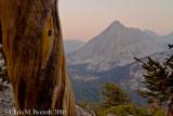 Foxtail pine, East Vidette behind