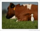 Koereiger    -    Cattle Egret