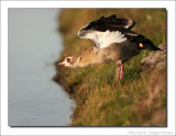 Nijlgans    -    Egyptian Goose