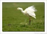 Grote Zilverreiger    -    Great Egret