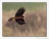 Bruine Kiekendief    -    Marsh Harrier