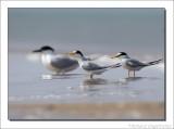 Dwergstern    -    Little Tern