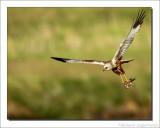 Bruine Kiekendief    -    Marsh Harrier               II