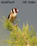 Putter - Carduelis - Goldfinch