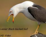 Kleine Mantelmeeuw - Larus fuscus graellsii - Lesser Black-backed Gull