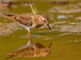 Temmincks Strandloper - Calidris temminckii - Temmincks Stint