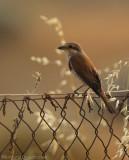 Grauwe Klauwier - Lanius collurio - Red-backed Shrike