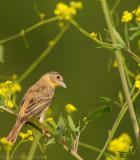 Zwartkopgors - Emberiza melanocephala - Black-Headed Bunting