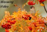 Pestvogel - Bombycilla garrulus - Bohemian Waxwing